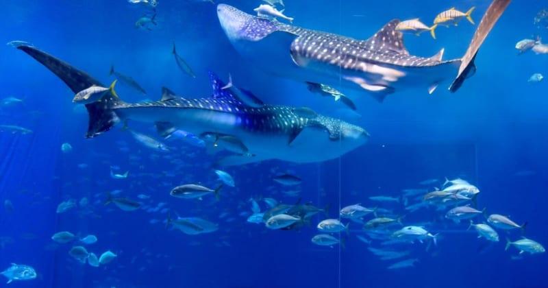 沖縄本島の大人気スポット、美ら海水族館のある本部半島が絶対おすすめの理由