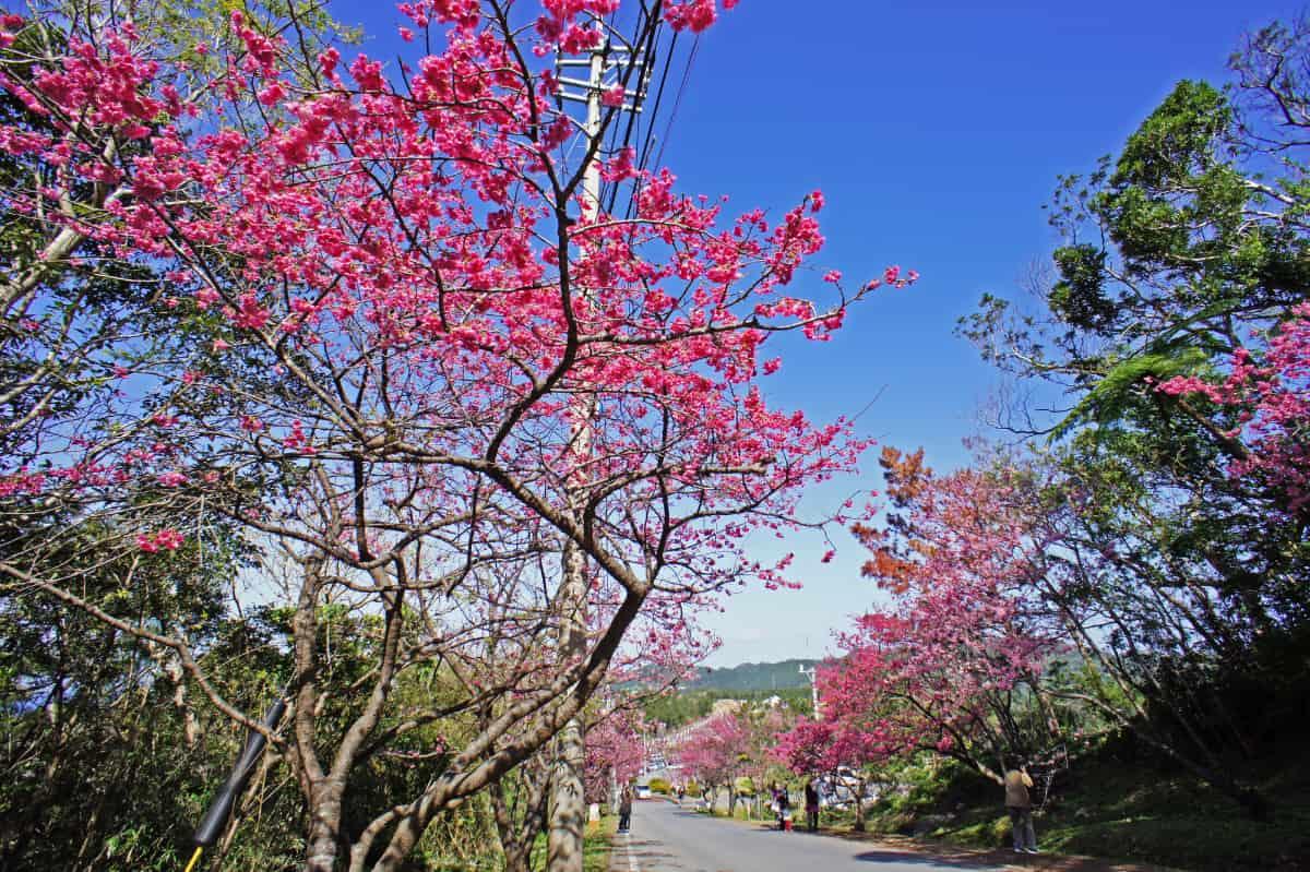 日本一早い桜を見ることができる「八重岳」