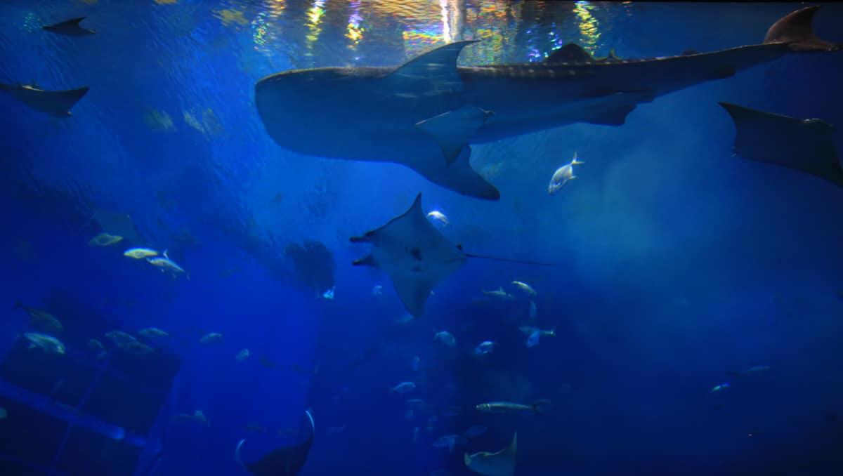 海の沖に浮かぶ巨大な生け簀で、あのジンベエザメと泳げる!